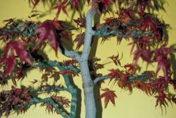 The elegance, beauty and grace of the Asian maple make it a popular bonsai choice.