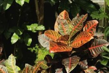 Brilliant croton plants make striking accents indoors, or outdoors during clement weather.