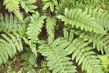 Ferns and mosses co-exist in moist, shady habitats.