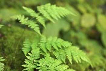 Ferns are prized for their green, delicate foliage.