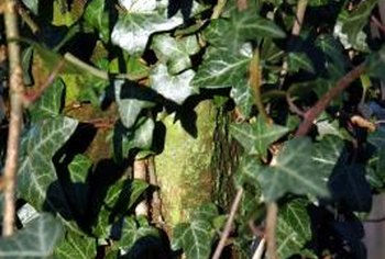 Remove aggressive English ivy to protect trees.