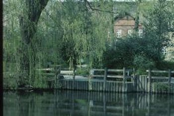 Weeping willows are often planted near water features in a garden or landscape.
