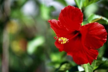 The hibiscus beetle does not find red flowers as alluring as lighter ones.