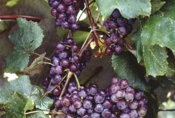 As you harvest grapes, do not discard the edible leaves.