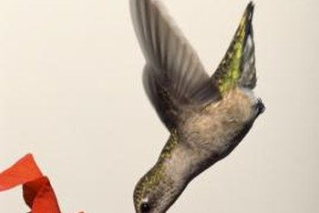 Hummingbirds have a special adaption that allows them to pollinate trumpet vine flowers.