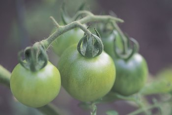 Small, hard, dark-green tomatoes are immature and won't ripen if picked.