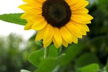Sunflowers produce a bright spot in the garden.