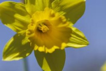Daffodils can be dug up and replanted.