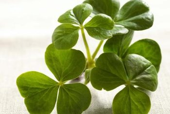 Purple shamrock is related to the green shamrock associated with St. Patrick's Day.