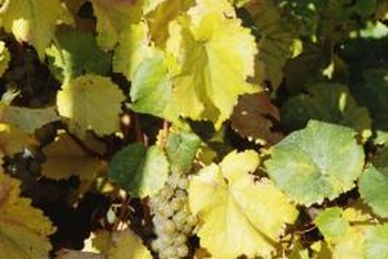 Grapevines adapt to a wide range of soil types.