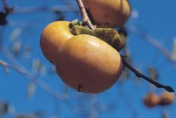 Hachiya persimmons are widely grown in California and yield peach-size fruit.