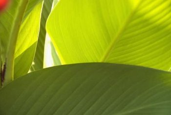 Canna leaves can be plain green or striped with red, white or yellow.