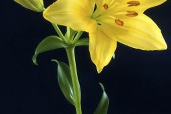 Timely trims improve the beauty of garden lilies.