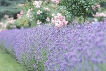 Lavender and shrub roses form an attractive border.