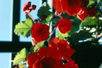 Indoors or out, begonia's leaves and flowers provide color and interest.