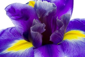 Iris blossoms' purple and yellow colors contrast with green foliage.