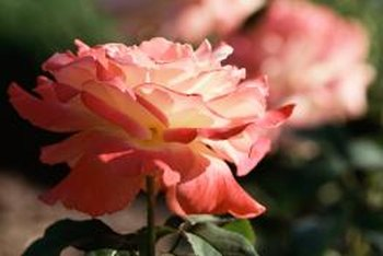Healthy roses have green, shiny leaves and full flowers.