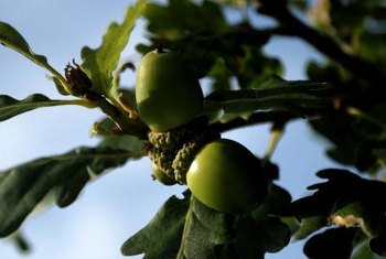 Acorns contain all the materials to produce new oak trees.