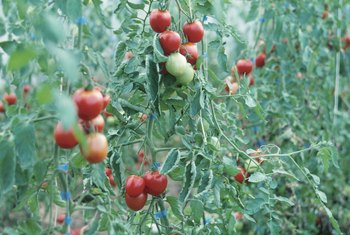 Topping helps control the size of a tomato plant.