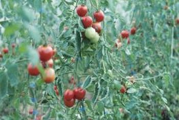 Stakes control branch growth on tomato plants.