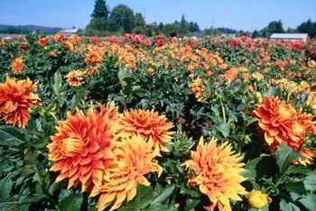 Cross-pollinate dahlias to develop new cultivars.