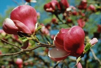 Southern magnolias produce large, fragrant flowers that attract attention.