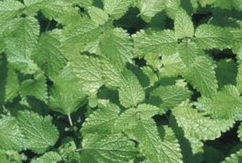 Healthy mint depends on proper annual care.