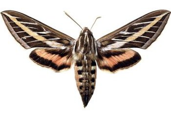 The sphinx moth is a pollinator of night blooming cereus.