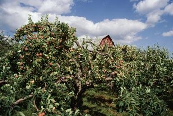Thinning reduces the weight on the branches for healthier apple trees.