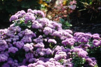 Properly tended ageratum blooms from spring through fall in all U.S Department of Agriculture plant hardiness zones.