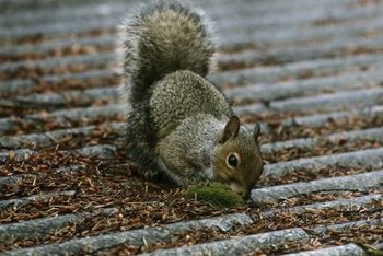 How To Stop Squirrels From Eating Siding Home Guides
