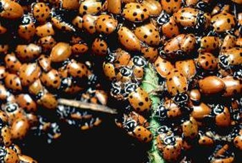 Ladybugs are natural aphid predators.