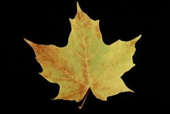 Leaf shape can help identify maple tree varieties.