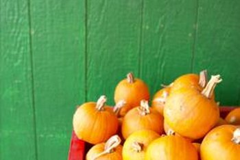 As members of the cucurbit family, pumpkins are related to melons, cucumbers, squashes and gourds.