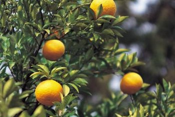 Most seedless citrus trees are self-fruitful, so they will bear fruit when grown alone or with other trees.