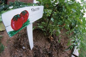 Provide indeterminate tomatoes space to spread out in the garden.