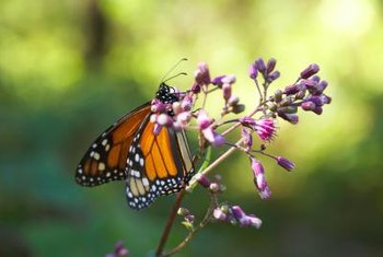 Milkweed is a natural host of monarch butterflies.