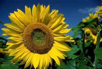The simple sunflower is part of the large aster family.