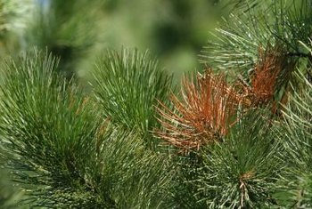 A few brown pine needles may indicate pest, disease or cultural problems.