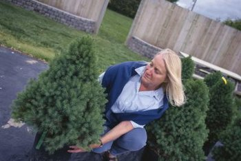 Moving a shrub from pot to ground can lead to transplant shock.