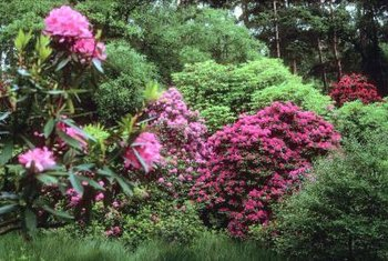 Rhododendrons bloom in woodland shade.