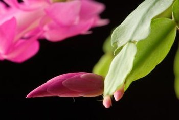 Christmas cactus flowers bloom on the tips of succulent stems.