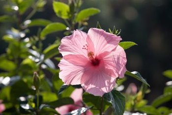Hibiscus flowers thrive in full sun exposure.