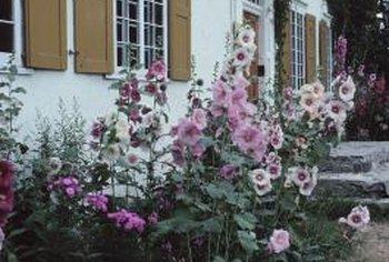 The showy flowers of the hollyhock attract butterflies and hummingbirds.