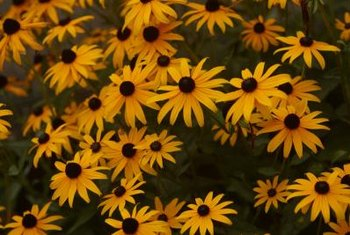 Black-eyed Susans are native American wildflowers.