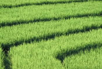 If you don't have fields to devote to it, rice can be grown in a bucket.