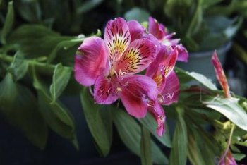 Alstroemeria's bright color and exotic appearance adds interest to the garden.