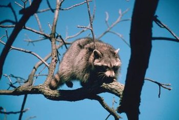 Raccoons are good climbers.