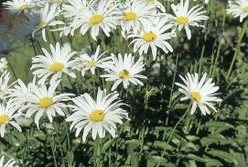Shasta daisies are an early summer perennial.