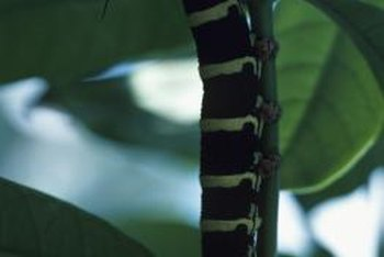 Caterpillars are one of several garden pests that eat plant leaves.